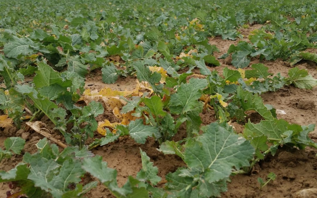 Rapeseed crop field analysis